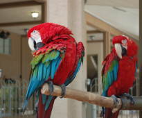 male and female Greenwing Macaw parrots for sale