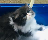 بيع قطط صغيرة راغدول وباندا                                         Selling cute kittens