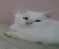 قطه شيرازي للتبني
