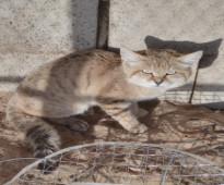 قطه للتبني بدون مقابل