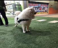 كلب سامويد للتزاوج وايضا للبيع