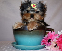 Cute Yorkshire Puppies for sale