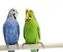للبيع جوز طيور الحب نظيف سبق ألانتاج مع القفص والاكل