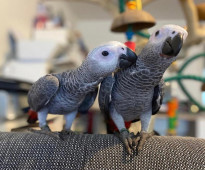 Cute and Adorable Pair of African Grey Parrot for Sale