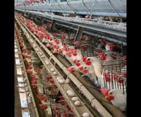 مهندس زراعى تخصص دواجن بياض