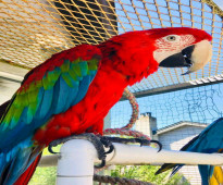 Scarlet Macaw parrots +16617696179