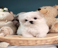Awesome Maltese Puppies Ready