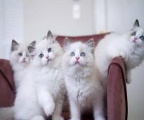 Home Ragdoll Kittens للبيع