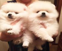 We got 2 adorable AKC Pomeranian  puppies