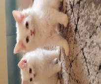 قطط شيرازى عمر ثلاث شهور ونصف