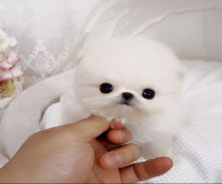 Teacup Pomeranian Puppies for new homes